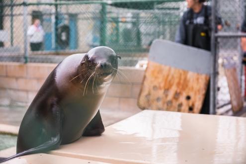 Cute Sea Lion Staring through fence